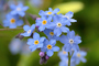 Thumb flower  forget me not