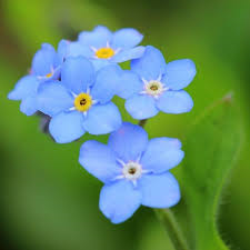 Profile pic forget me not