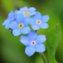 Thumb forget me not