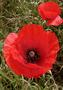 Thumb poppy  11111